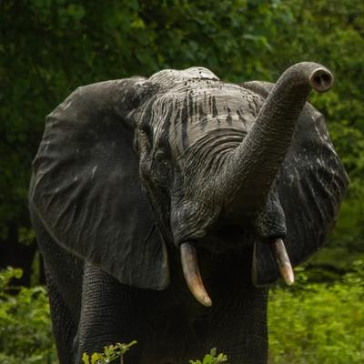Elephants playing in a national park in Ghana